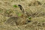 hare (Lepus europaeus)